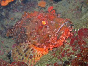 Europees zeevarken 03