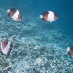 075 Vlindervissen