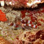 Banded Shrimp 01