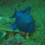 Blauwe trekkervis