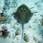 Bluespotted Ray 01