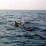 Dolfijnen 03