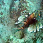 Gewone koraalduivel 02