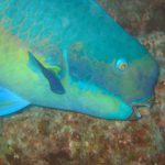 Indian Bumphead Parrotfish