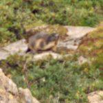 Marmot AletschgletsjerRiederalp ZwitserlandAugustus 1993