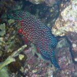 Rode koraalbaars