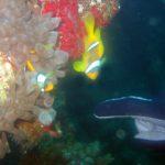 Rode zee anemoonvissen 01