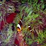 Rode zee anemoonvissen 02