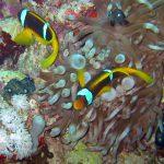 Rode zee anemoonvissen 03