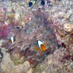 Rode zee anemoonvissen 04