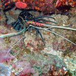 Spinny Lobster