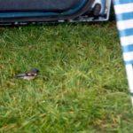 Vogeltje op campingSt. MoritzZwitserland, Juni 1994