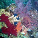 Zacht koraal