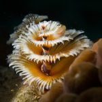 Kerstboomworm