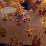 Zacht koraal krab